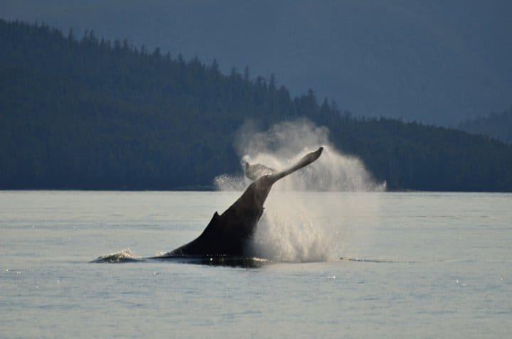 hg-humpback