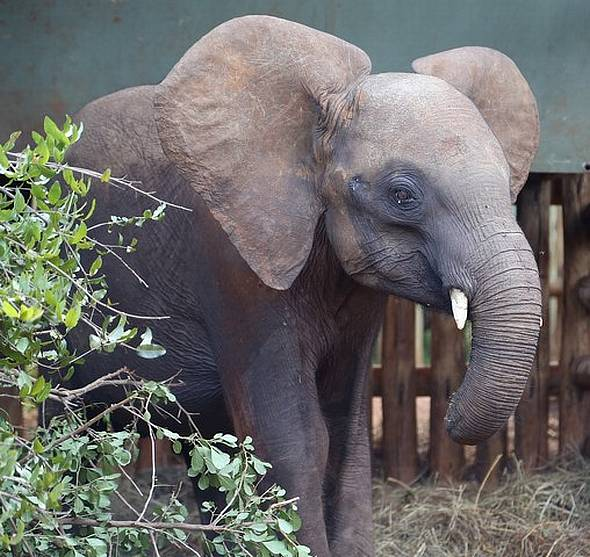 Why I Fostered an Elephant