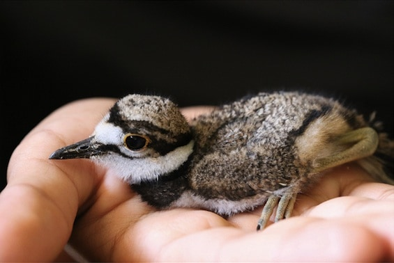 Lessons on Grief from Momma Killdeer
