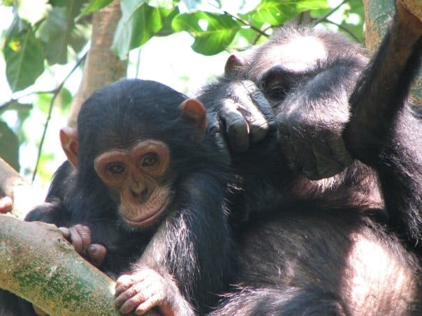 Baby and mother chimp - Irene Whittaker-Cumming