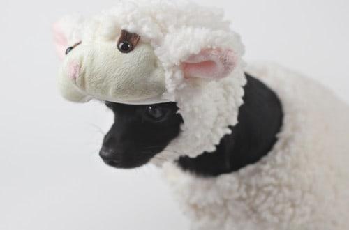 apollo_lamb2