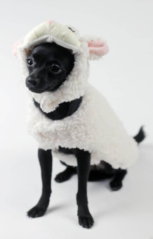 apologo_lamb